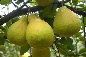 塘河沙田柚