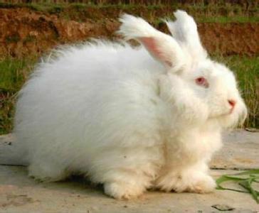 荥经长毛兔