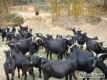 陵川黑山羊