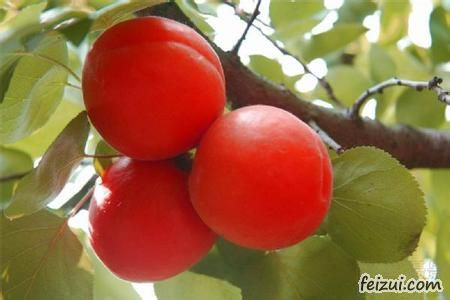 清徐沙金红杏
