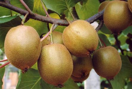 平陆猕猴桃