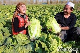 焉耆大白菜
