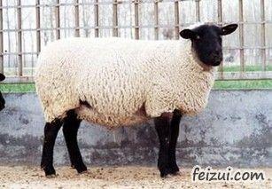 玛纳斯萨福克羊
