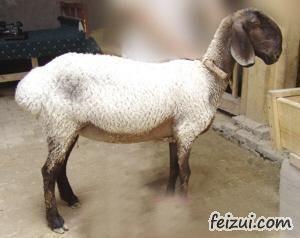 麦盖提多浪羊