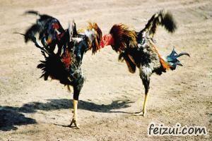 吐鲁番斗鸡
