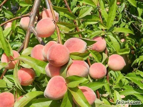 喀拉布拉桃子