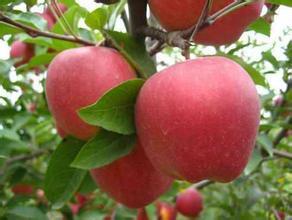 小凉山苹果