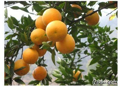 兰坪中排黄果