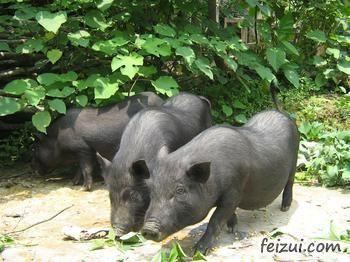 勐腊小耳猪