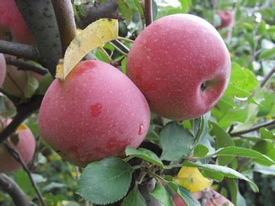 砚池山苹果