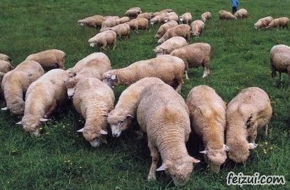 永善马楠半细毛羊