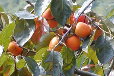 永康方山柿