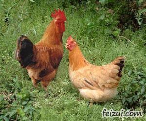 宁海梅林鸡