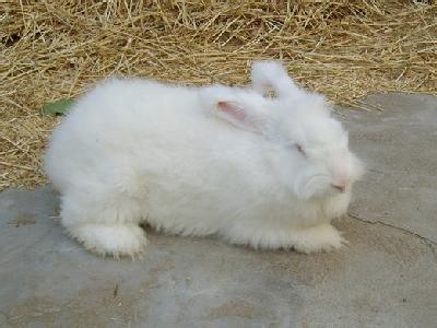 嵊州长毛兔
