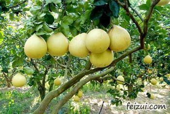 苍南四季柚