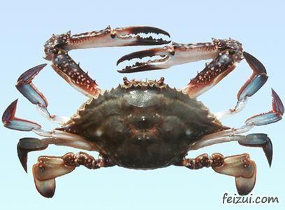 舟山三疣梭子蟹