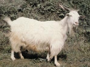 武隆板角山羊