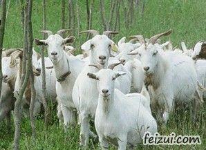 云阳白山羊