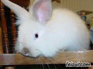 石柱长毛兔