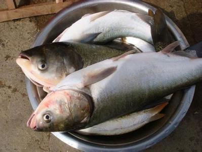 大黄堡鲢鱼